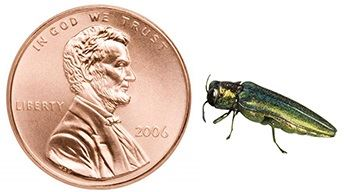 Image of Emeral Ash Borer next to a US Penny